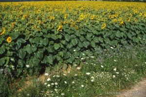 nature_1993-tournesols-1