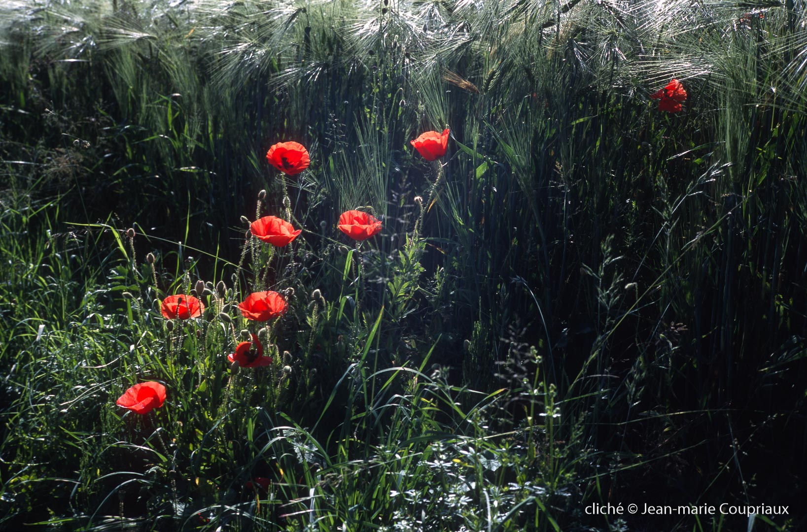 Fleurs__coquelicots-100.jpg