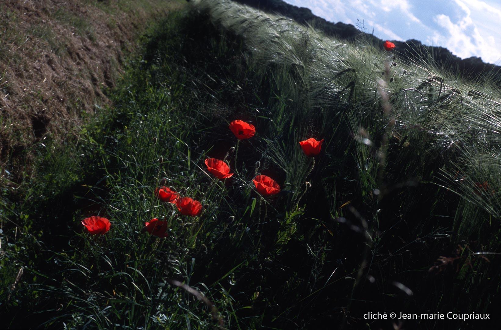 Fleurs__coquelicots-101