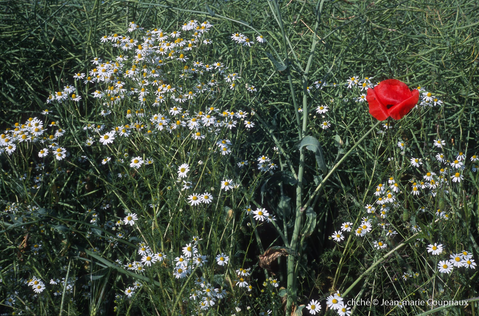 Fleurs__coquelicots-103.jpg