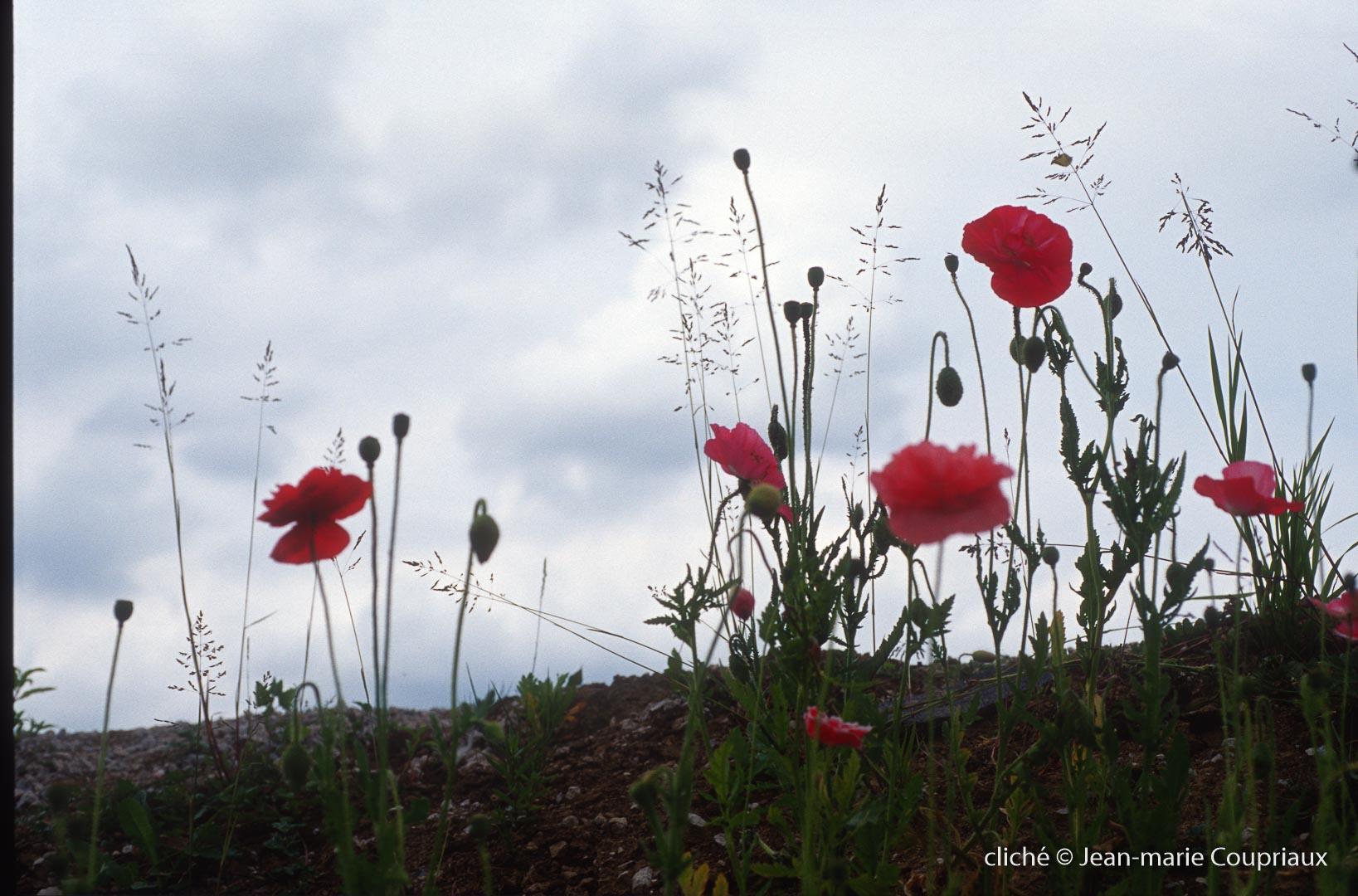 Fleurs__coquelicots-104