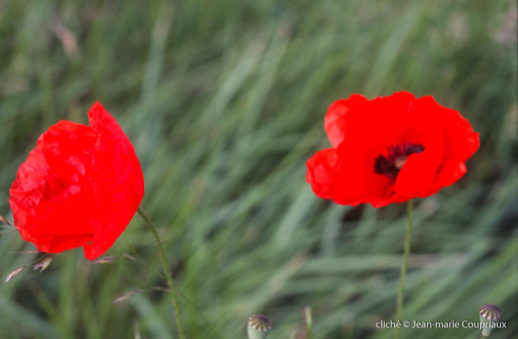 Fleurs__coquelicots-105