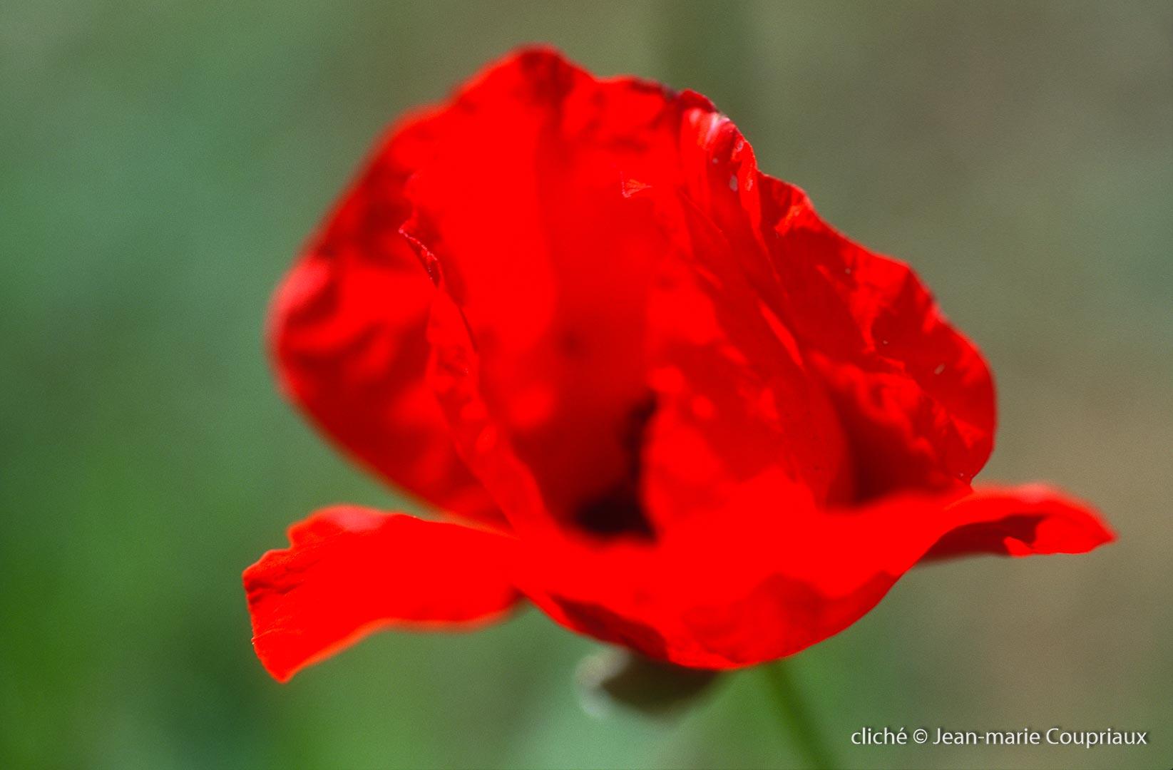 Fleurs__coquelicots-107.jpg