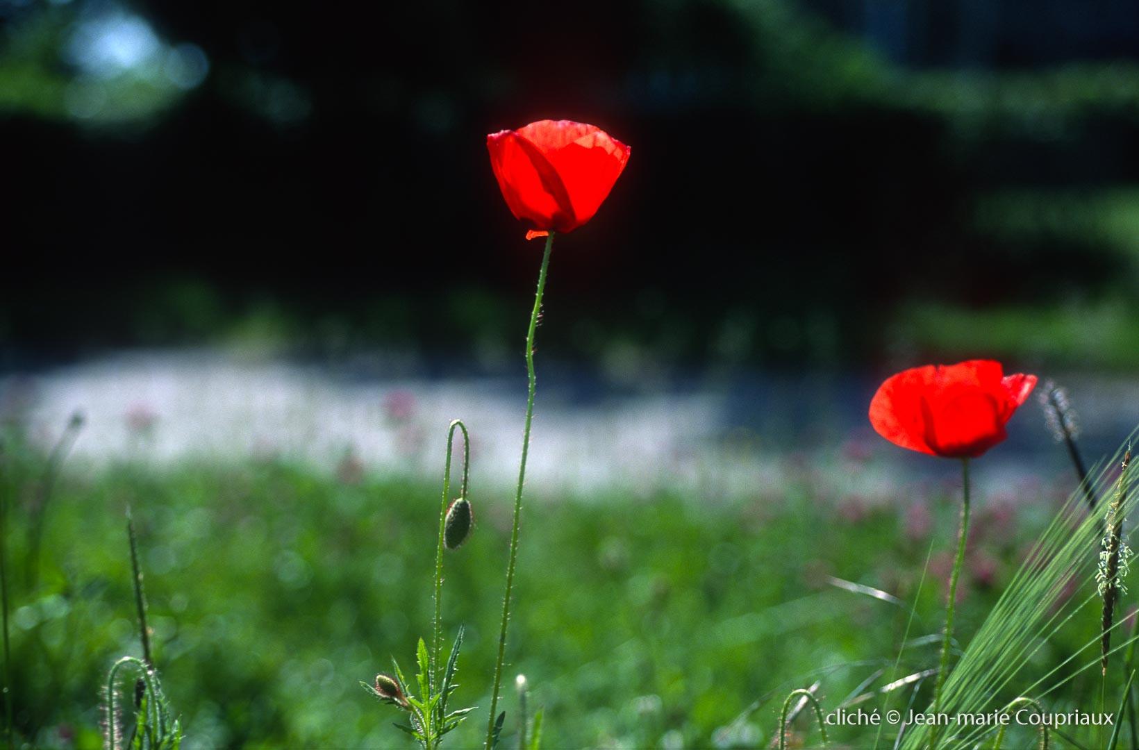 Fleurs__coquelicots-109.jpg