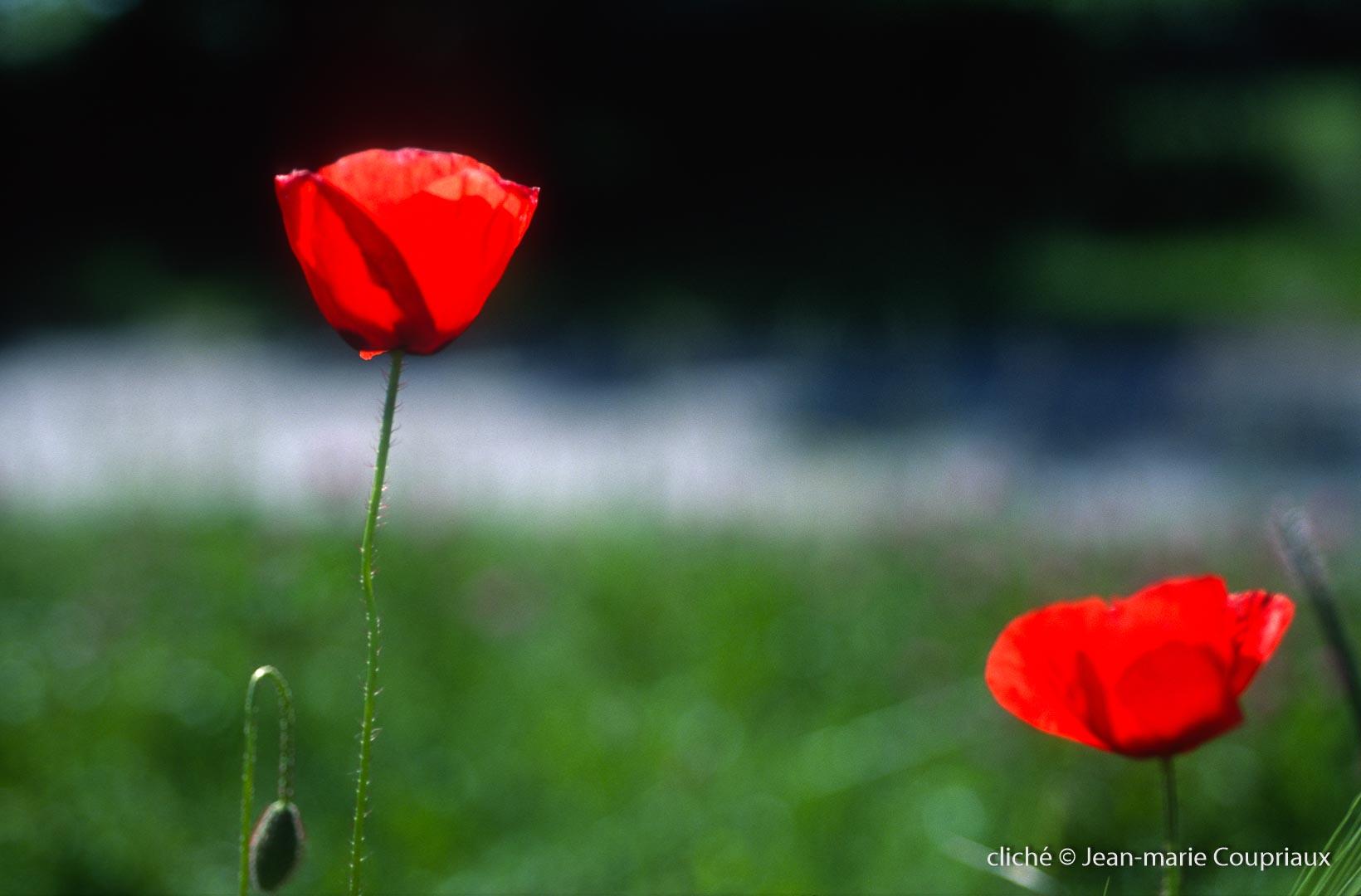Fleurs__coquelicots-110.jpg