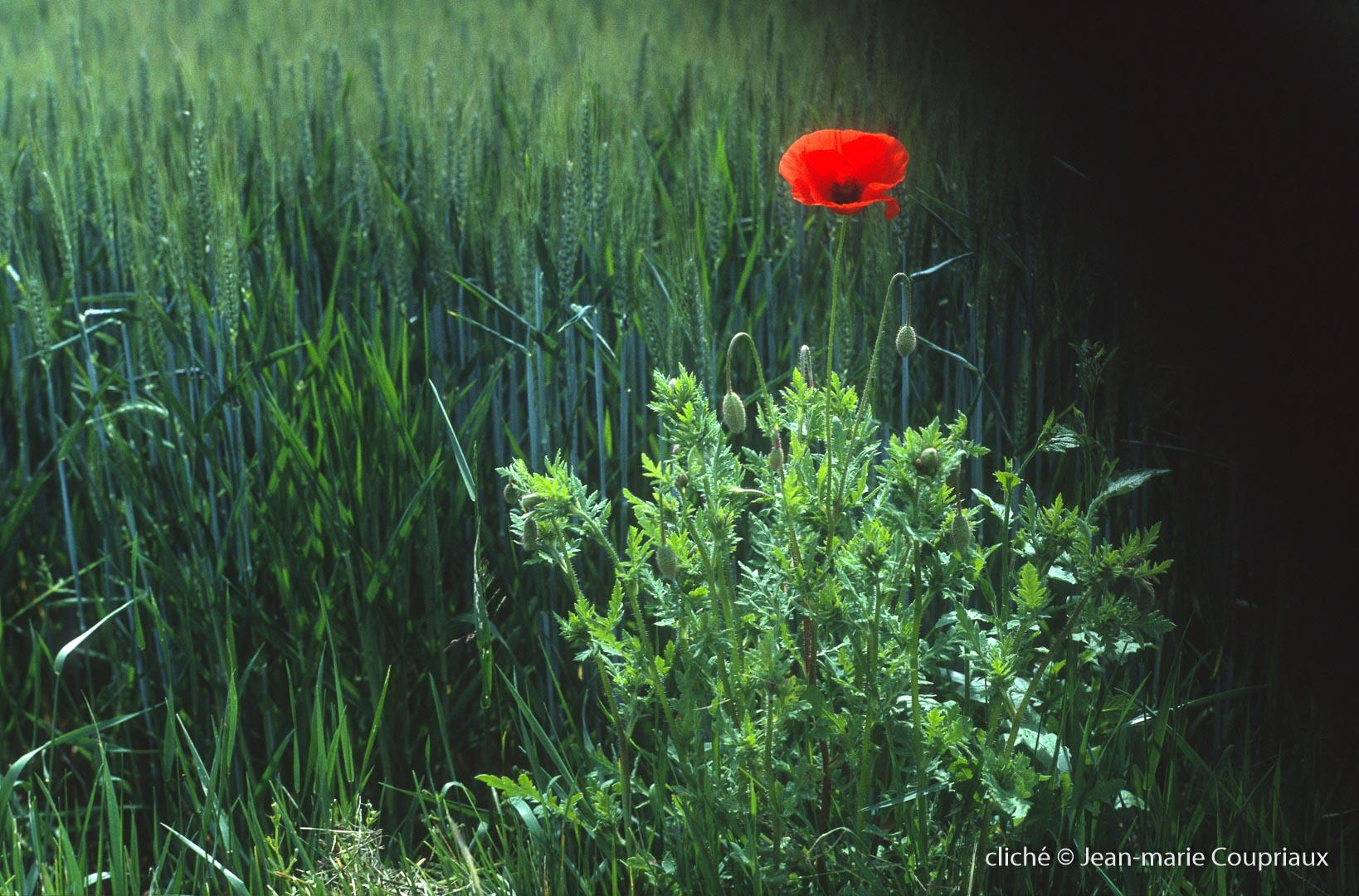 Fleurs__coquelicots-111