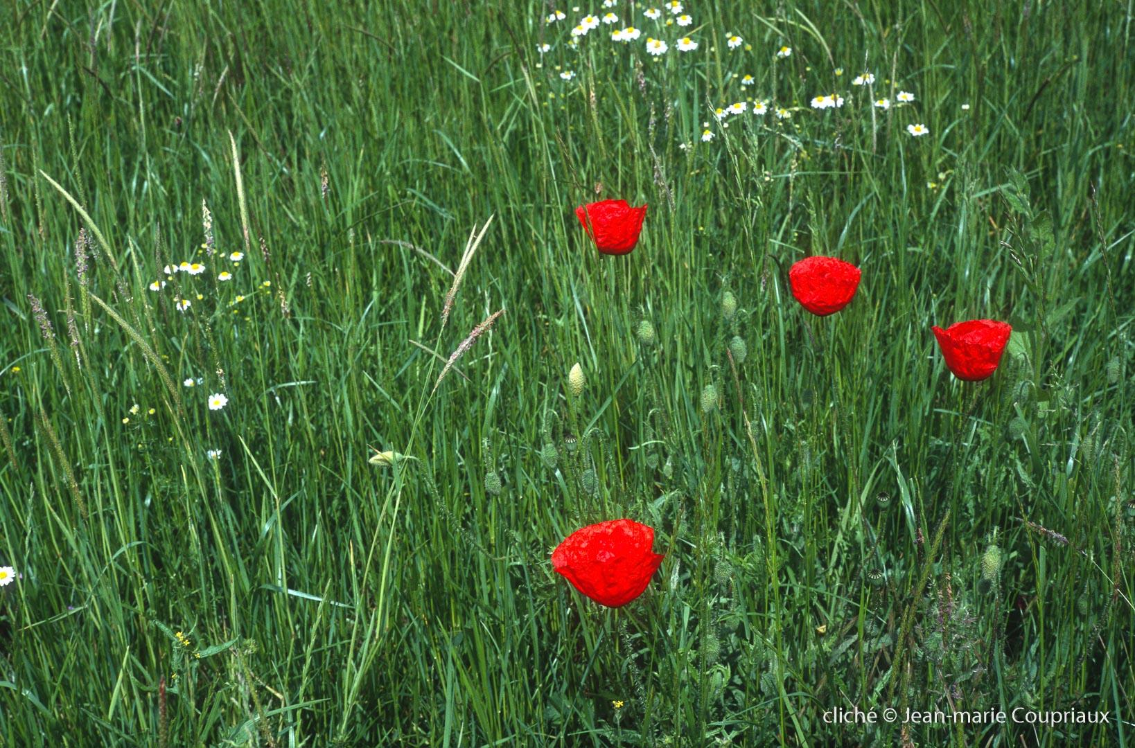 Fleurs__coquelicots-112