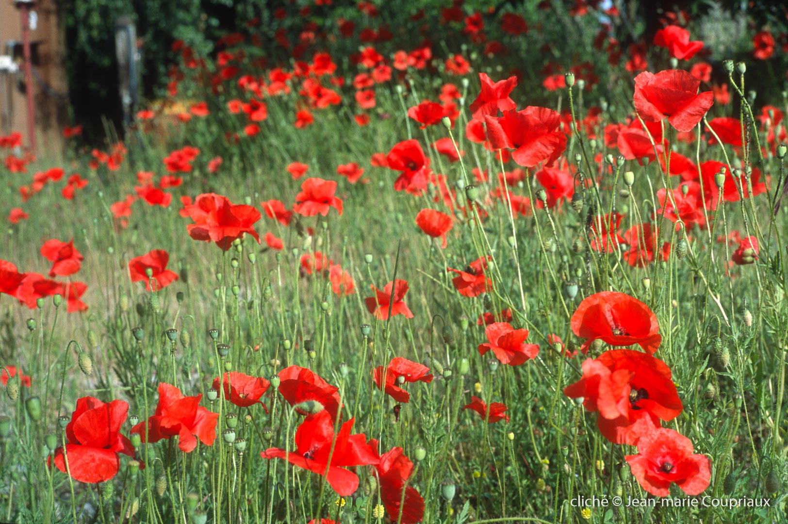 Fleurs__coquelicots-116