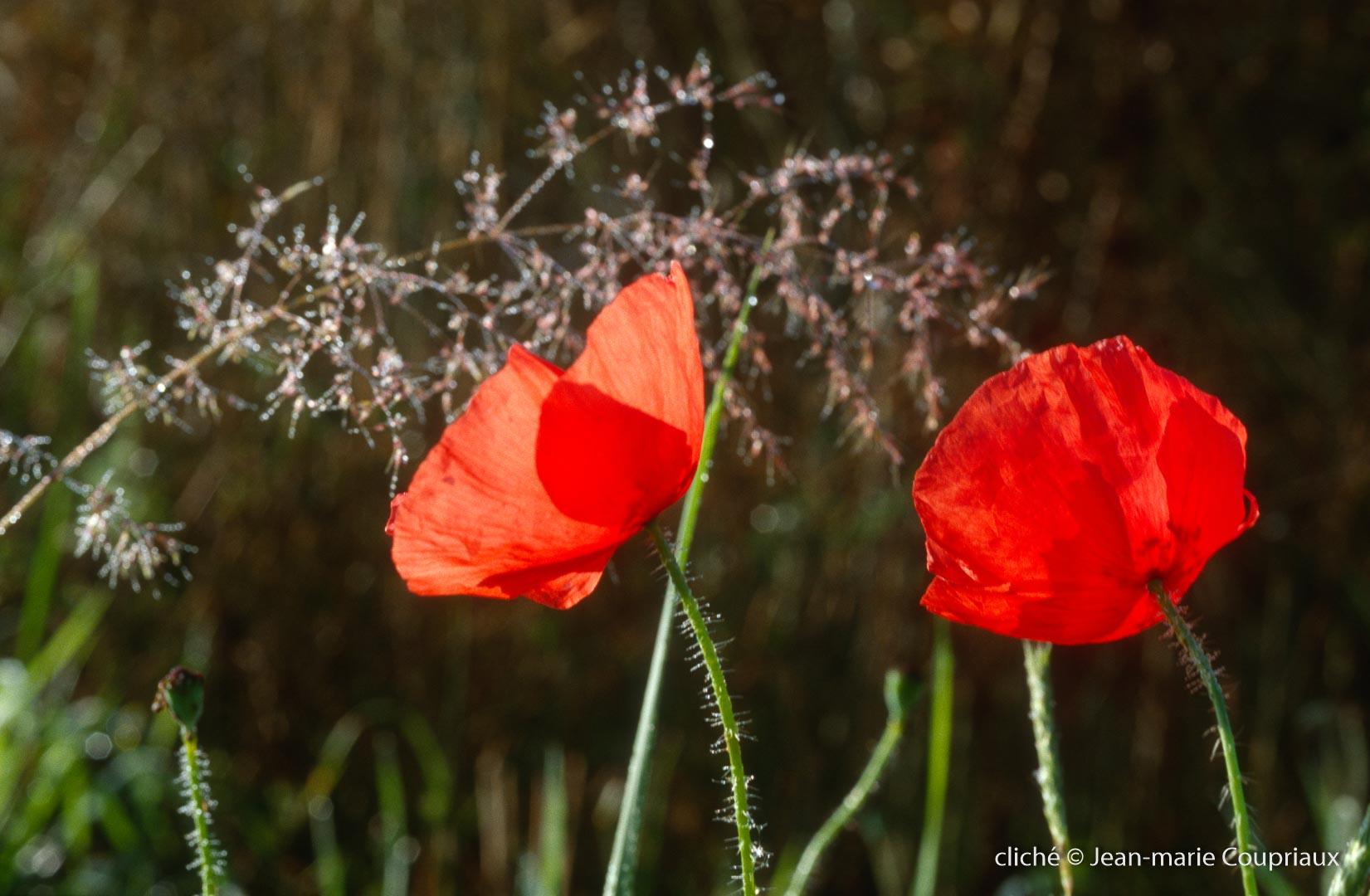 Fleurs__coquelicots-118