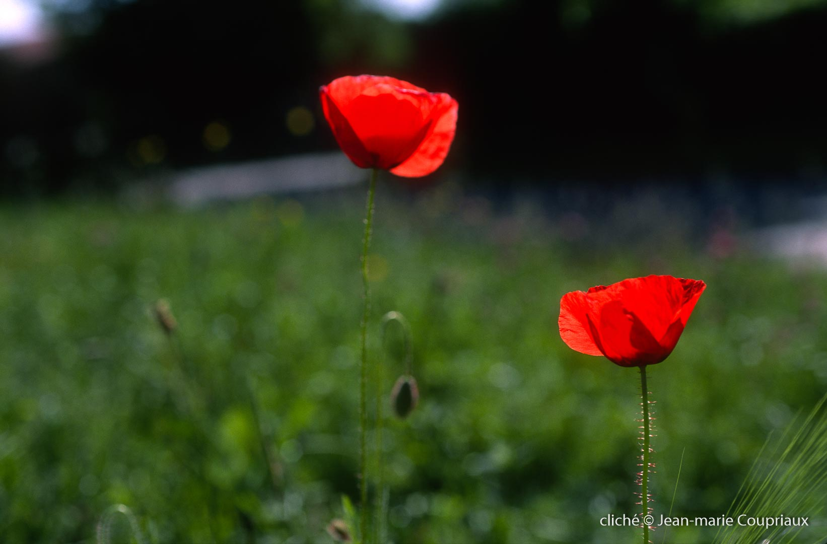 Fleurs__coquelicots-121.jpg