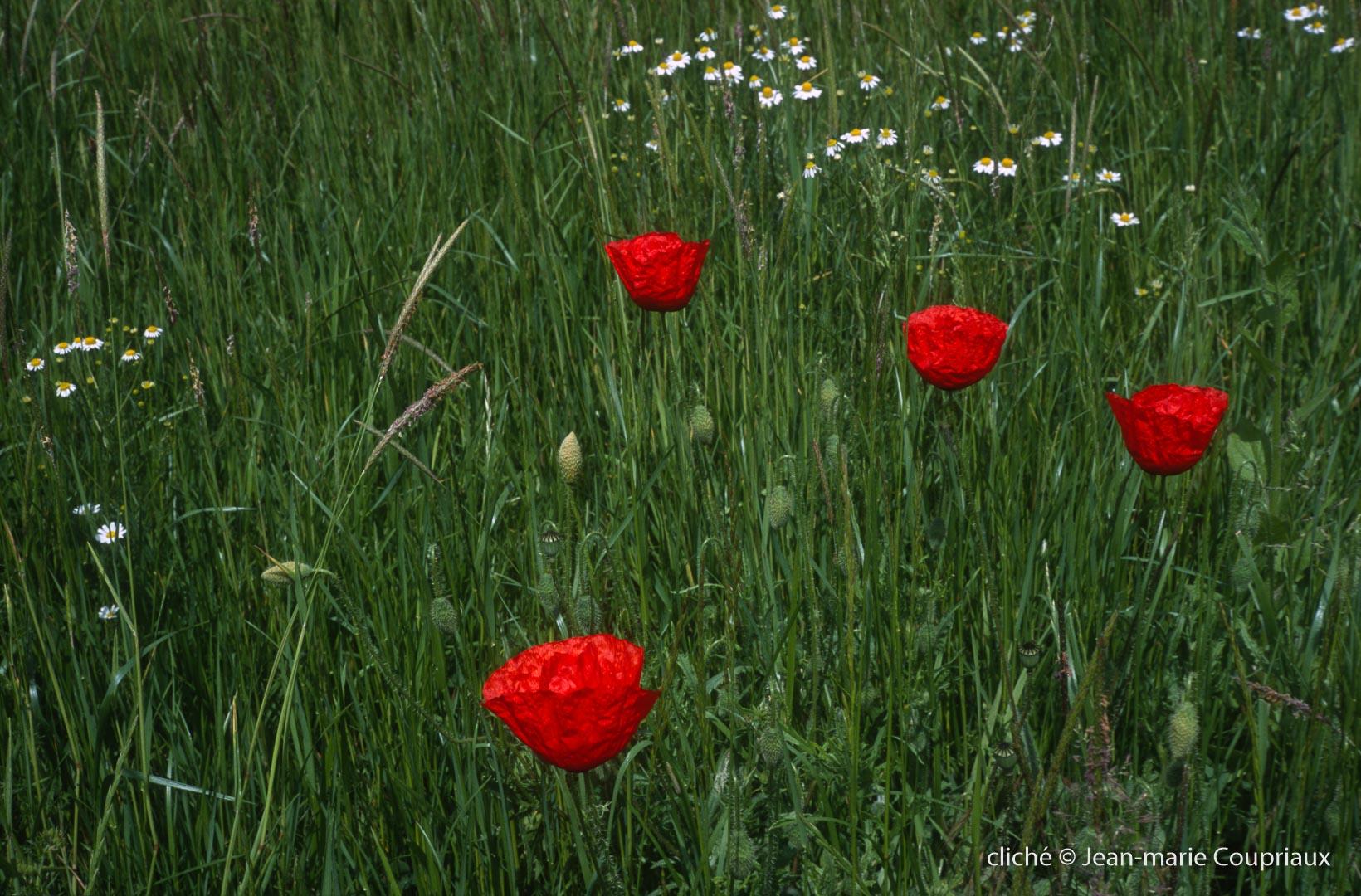 Fleurs__coquelicots-125.jpg