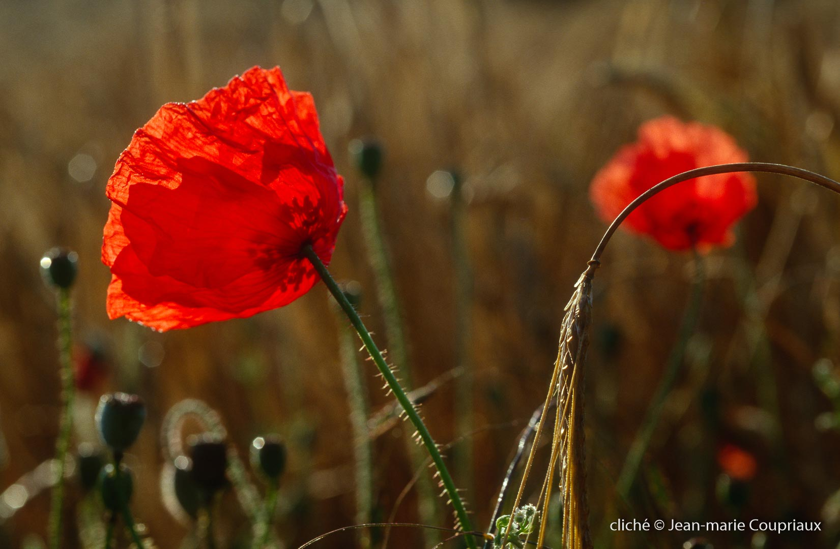 Fleurs__coquelicots-127.jpg