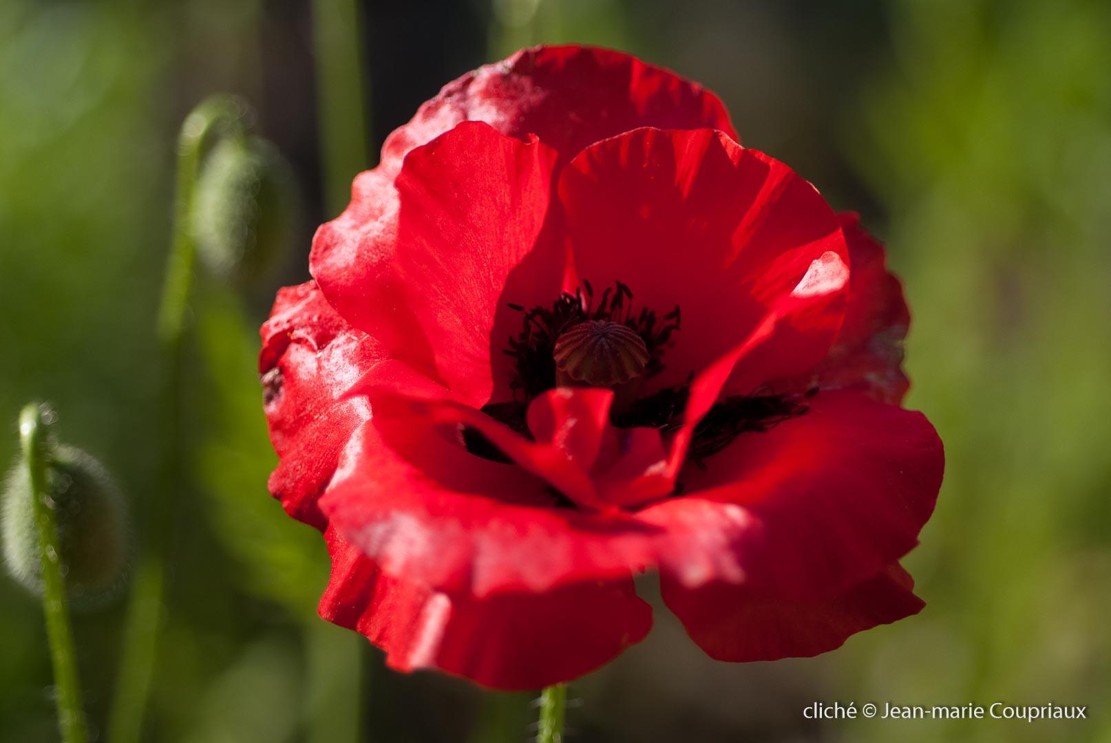 Fleurs__coquelicots-22