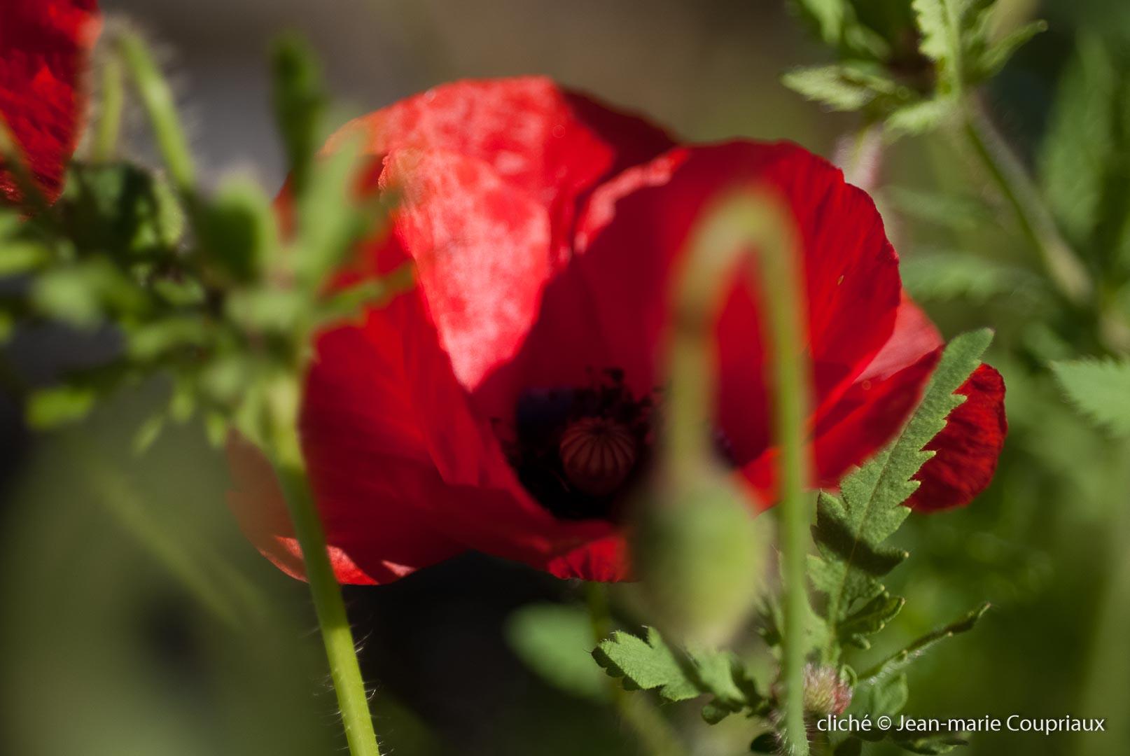 Fleurs__coquelicots-23