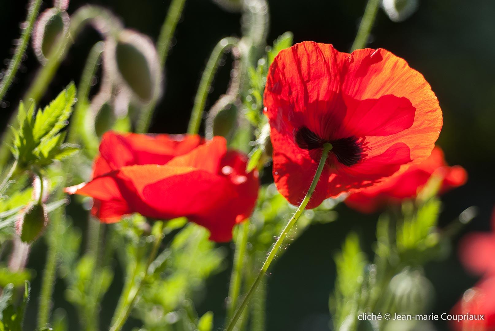 Fleurs__coquelicots-24
