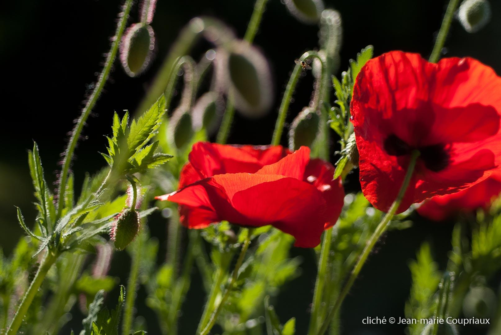 Fleurs__coquelicots-25
