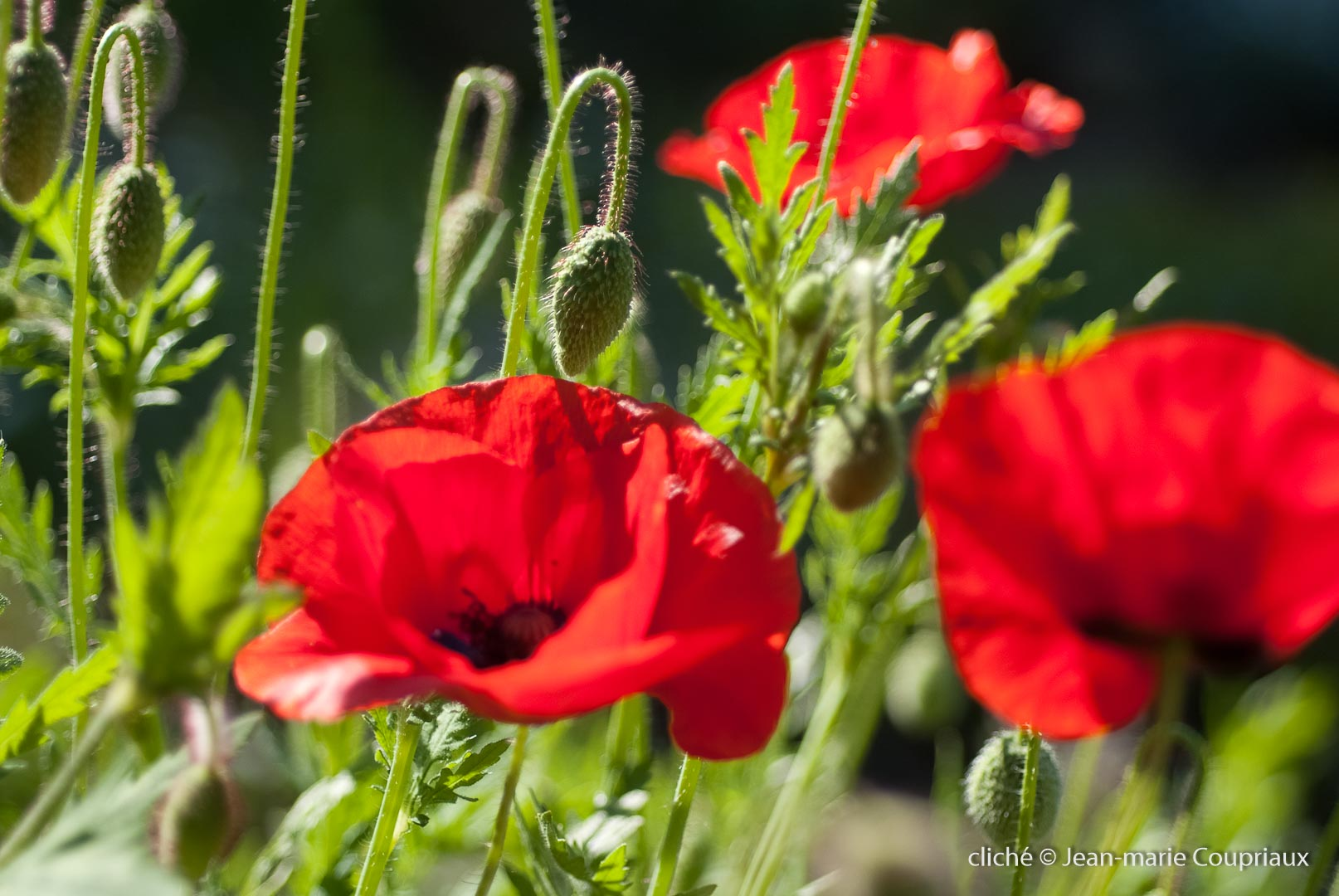 Fleurs__coquelicots-28.jpg