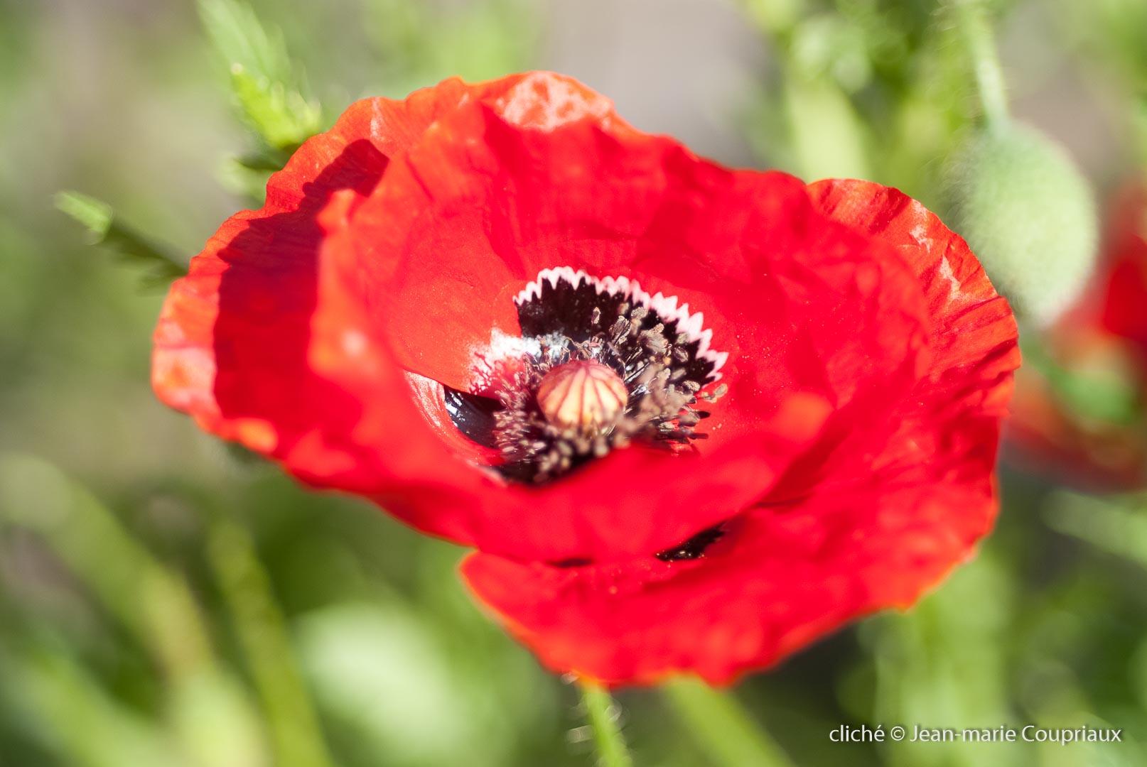 Fleurs__coquelicots-29.jpg