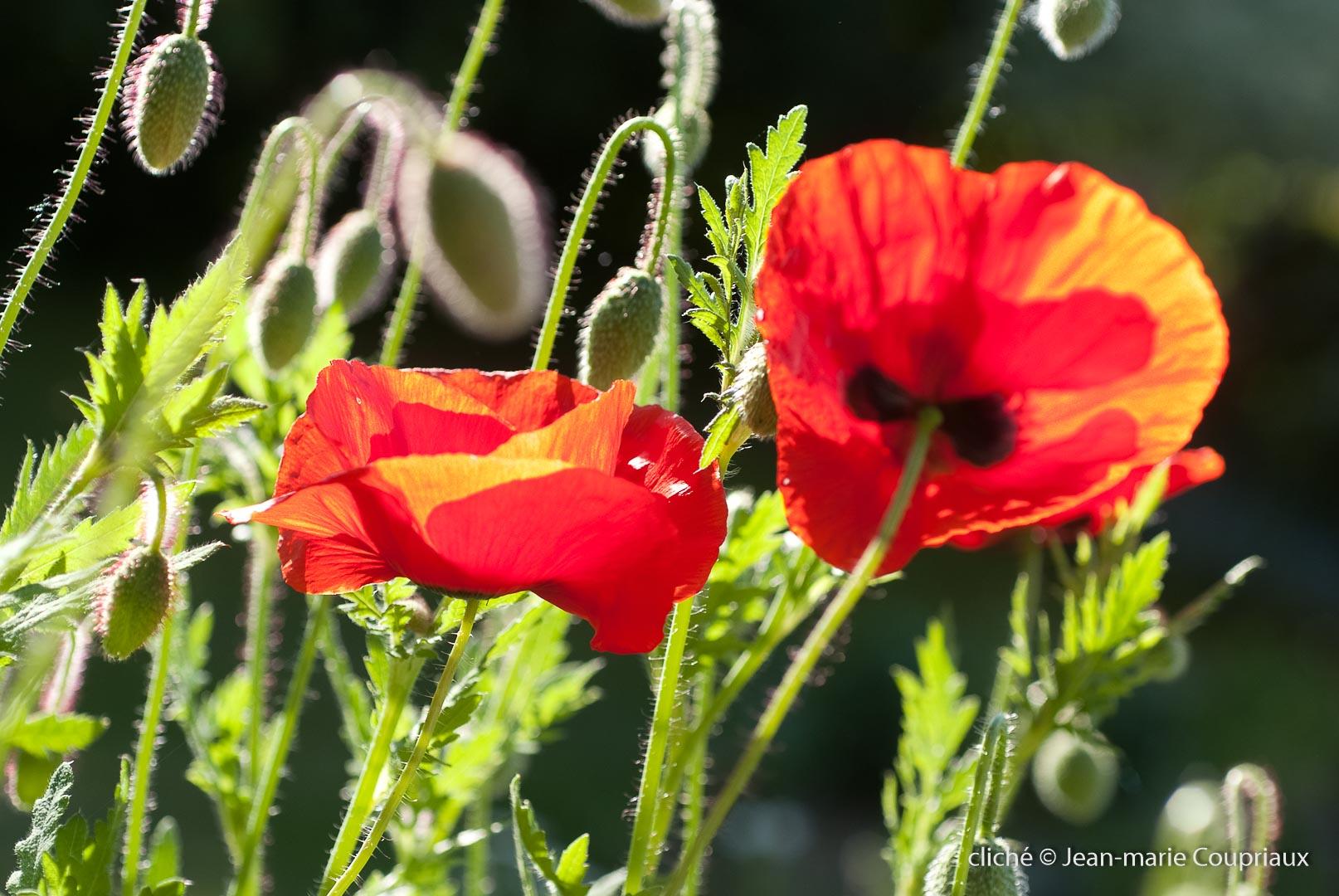 Fleurs__coquelicots-32.jpg