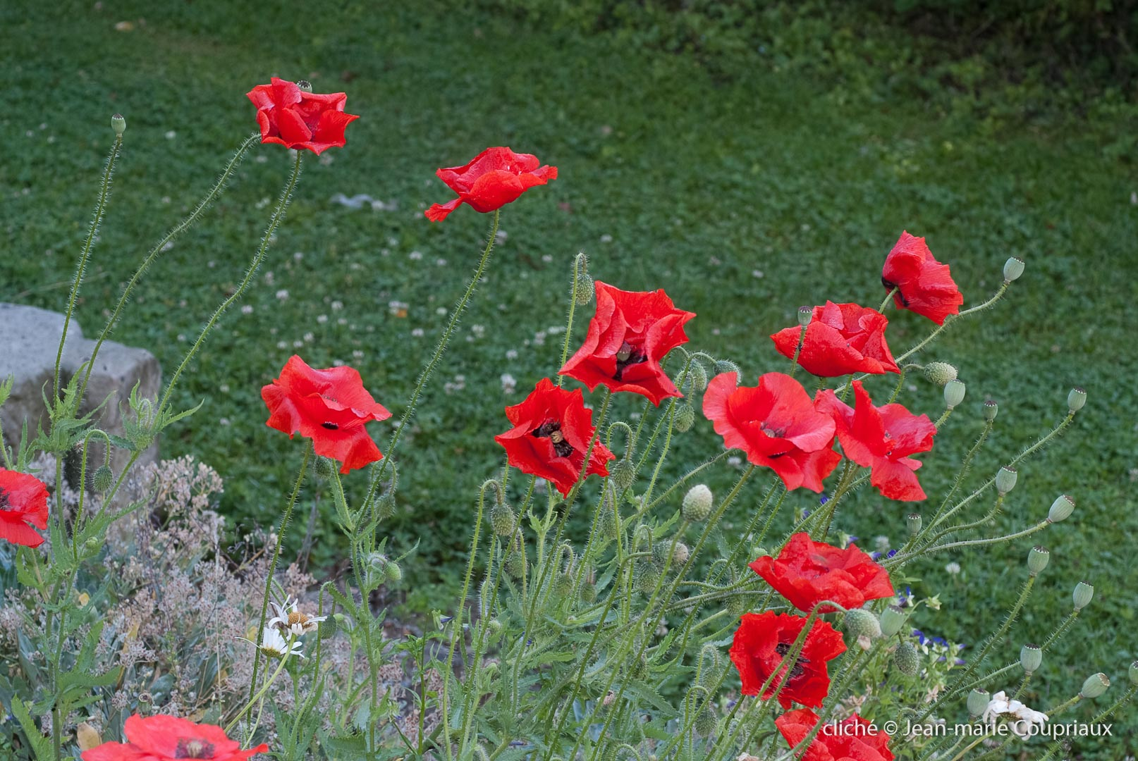 Fleurs__coquelicots-34