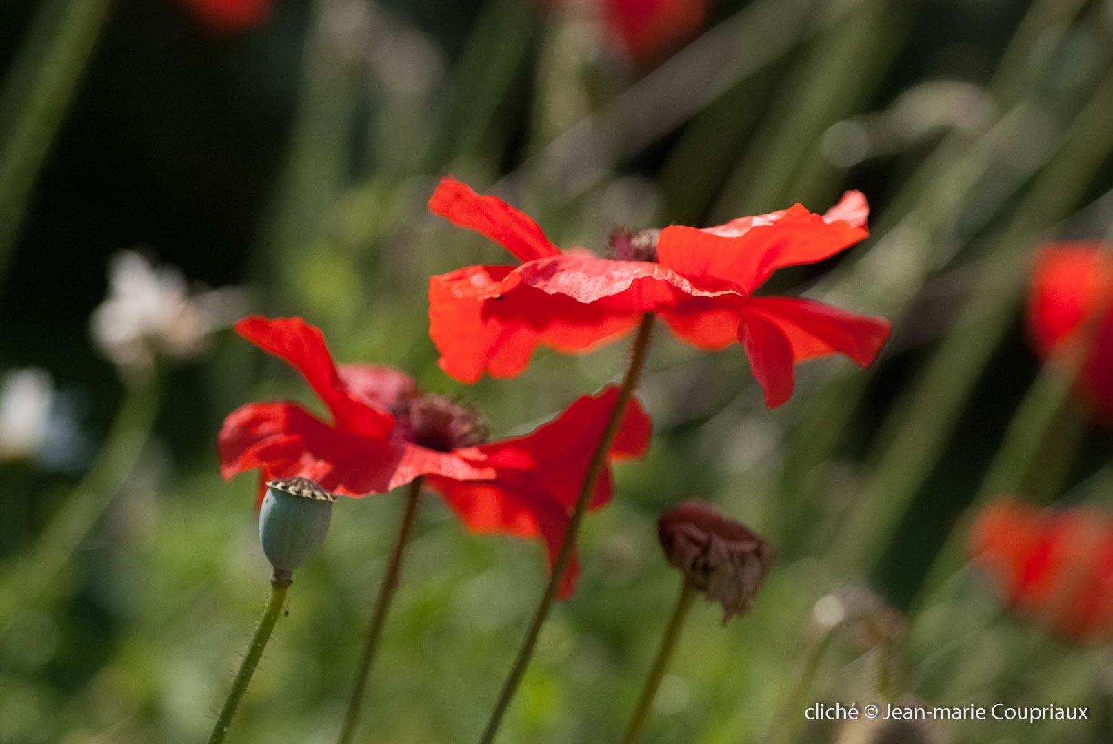 Fleurs__coquelicots-46