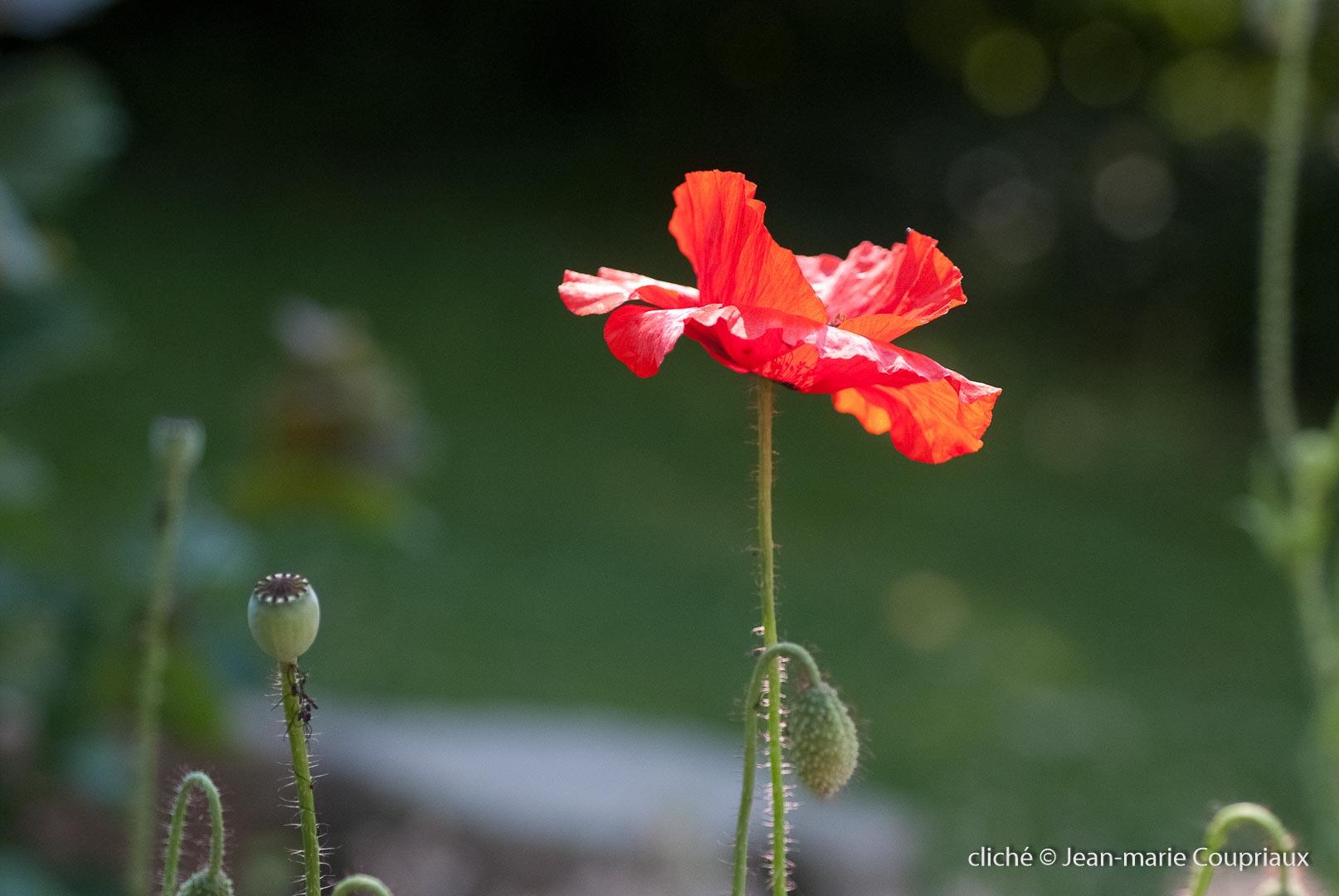 Fleurs__coquelicots-47