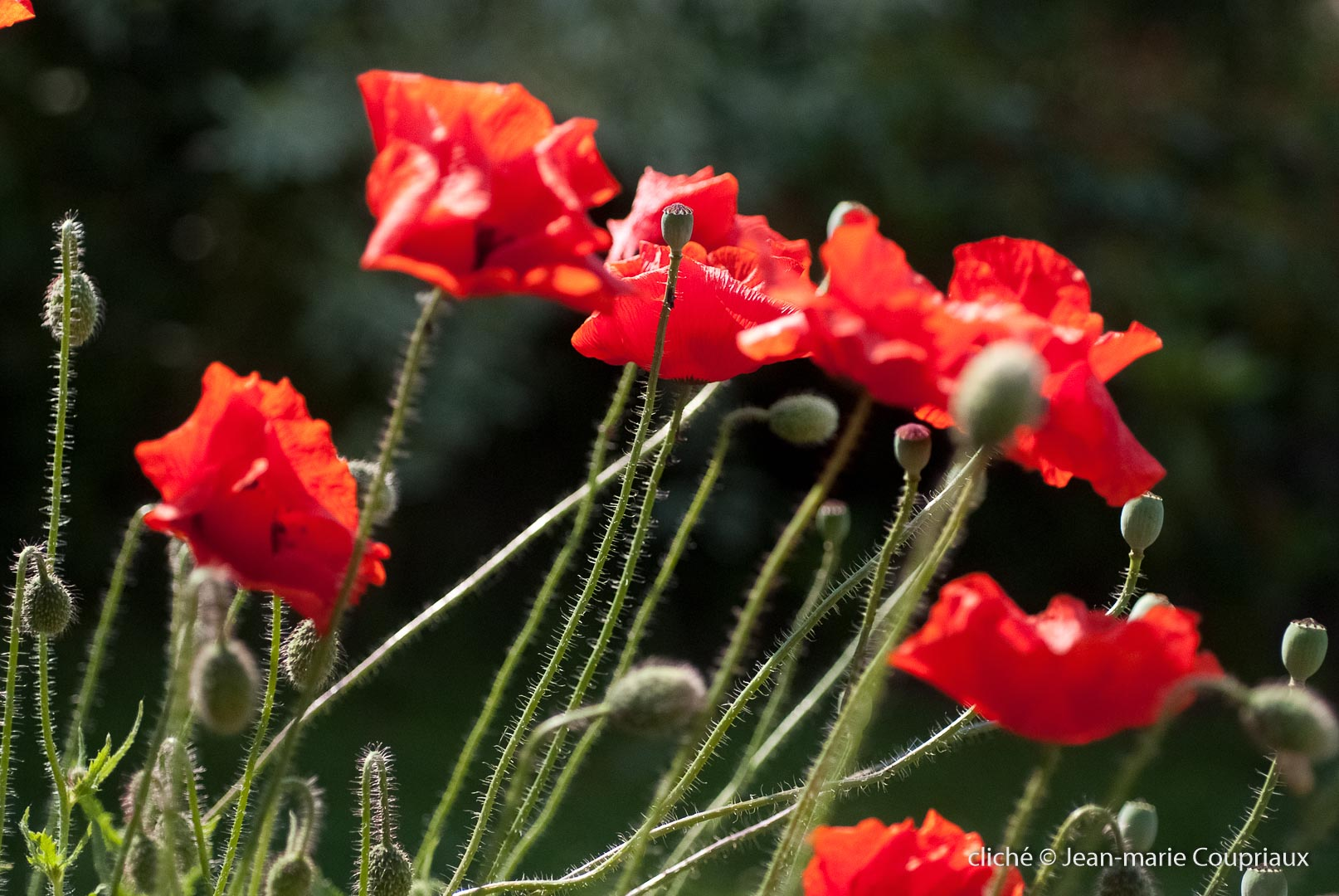 Fleurs__coquelicots-49
