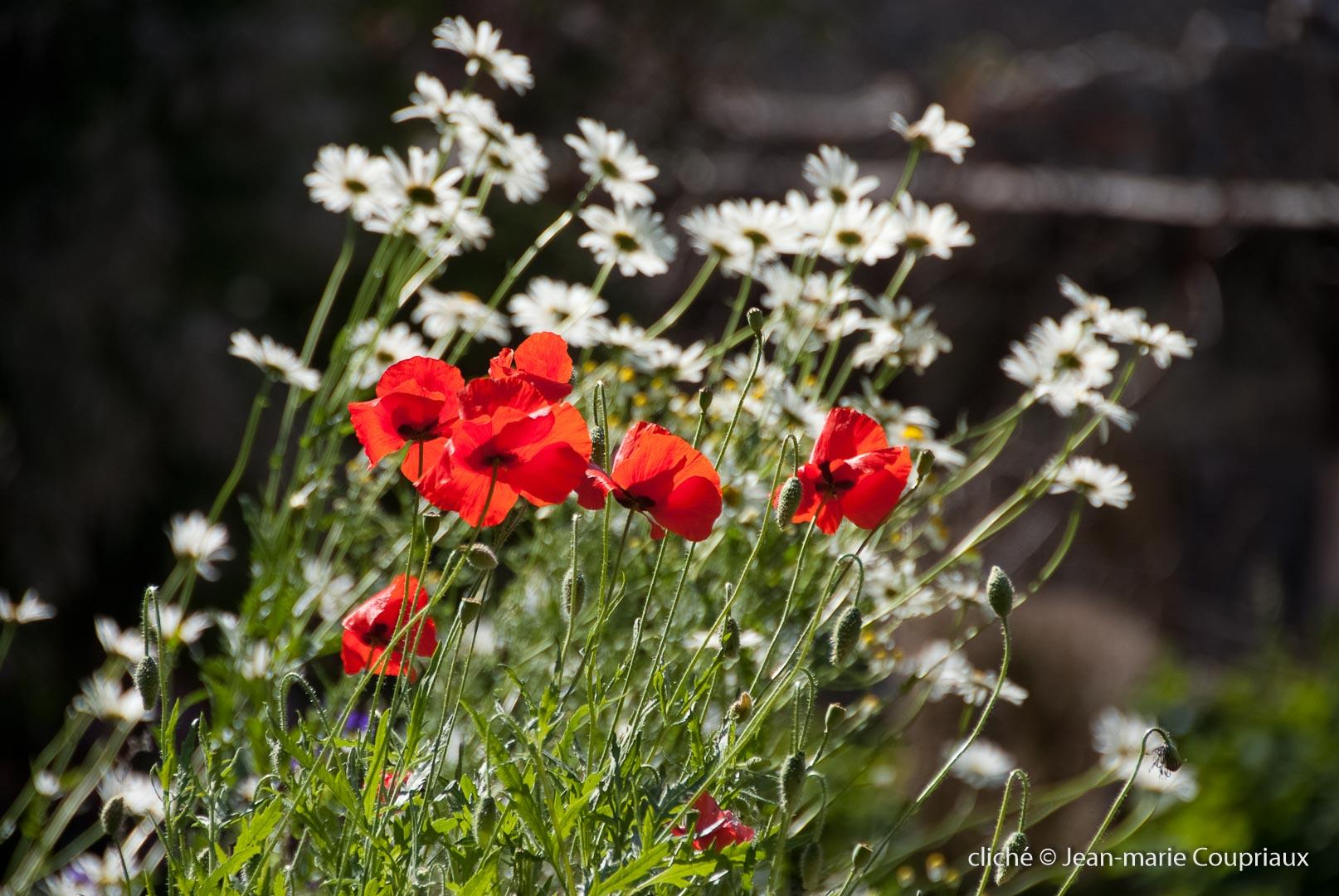 Fleurs__coquelicots-5