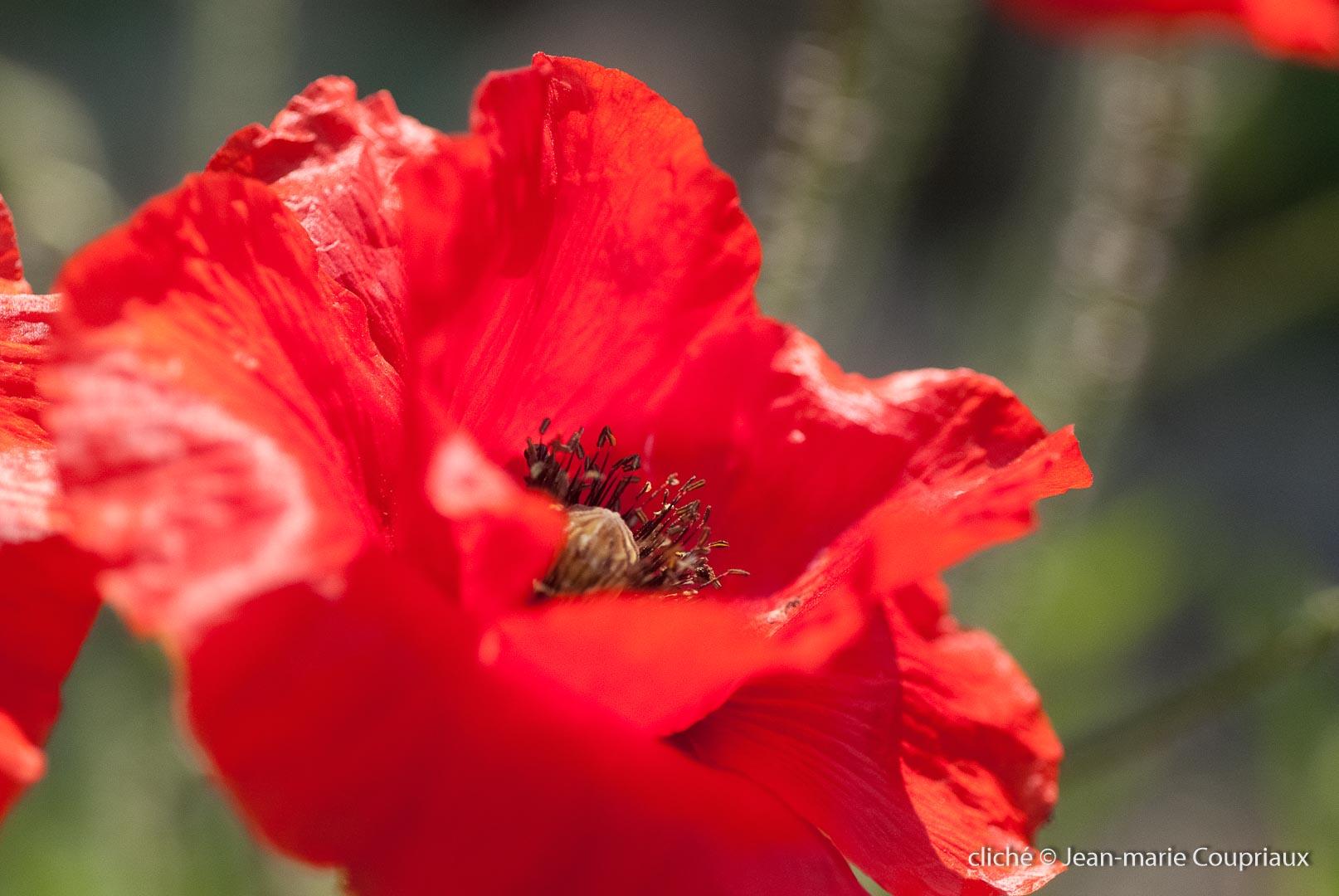 Fleurs__coquelicots-51.jpg
