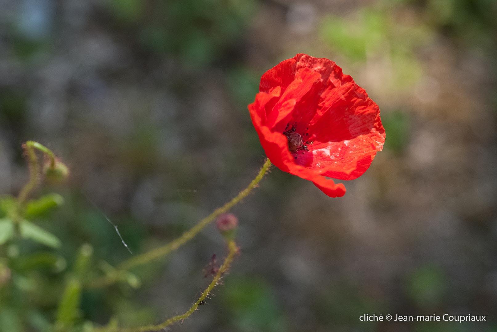 Fleurs__coquelicots-56