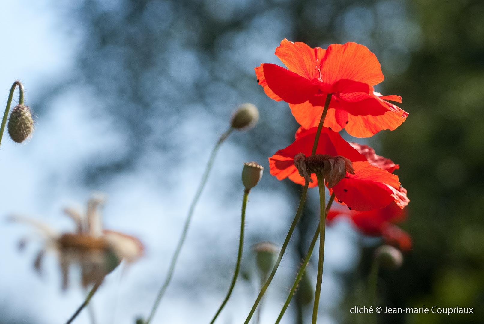 Fleurs__coquelicots-64