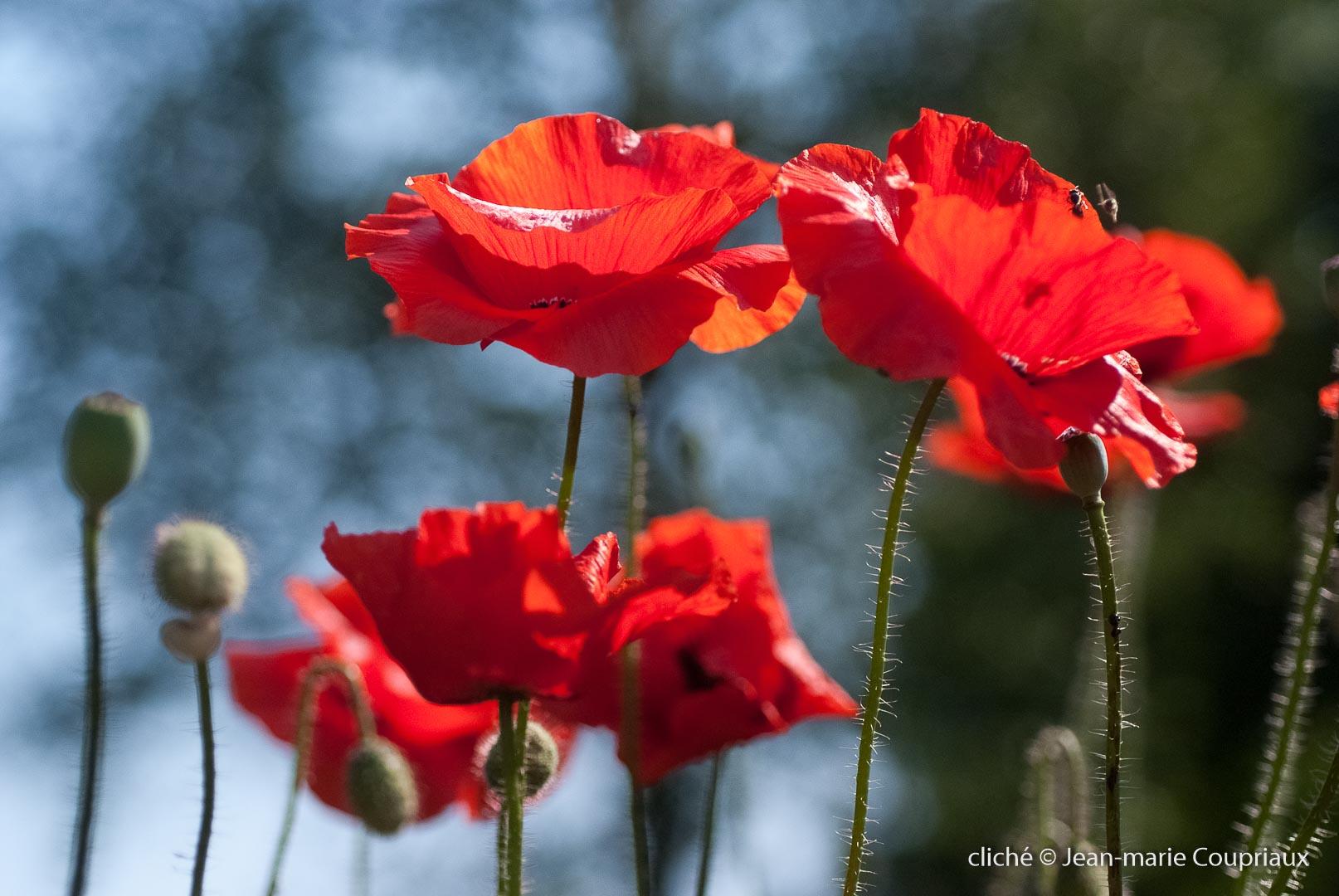 Fleurs__coquelicots-65.jpg