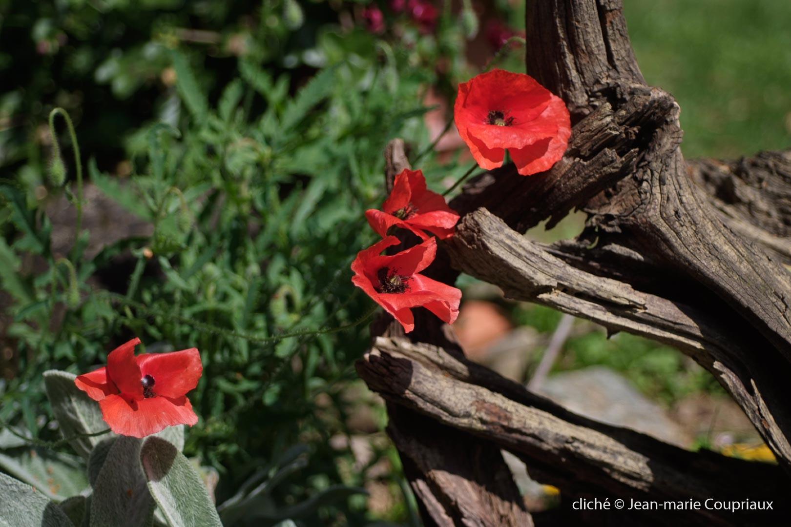 Fleurs__coquelicots-71