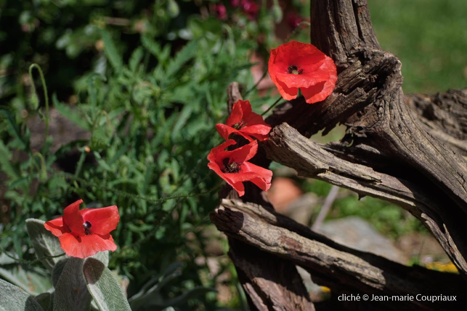 Fleurs__coquelicots-71.jpg