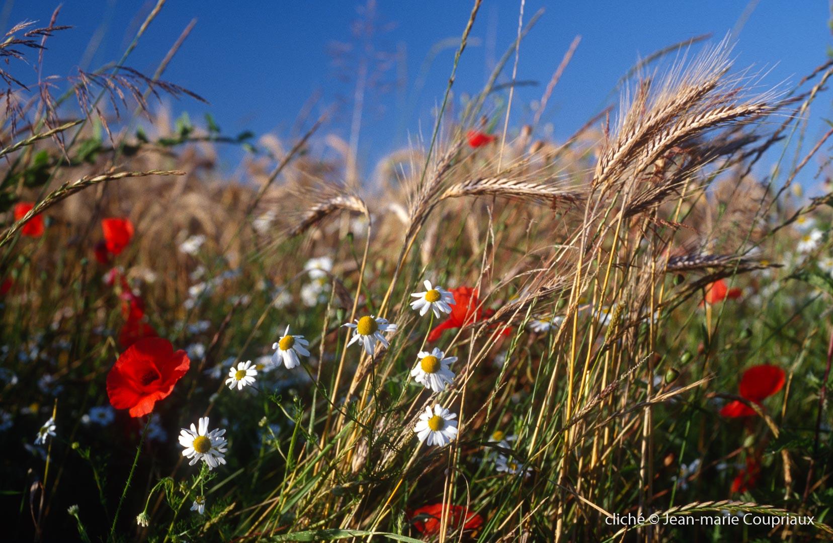 Fleurs__coquelicots-72