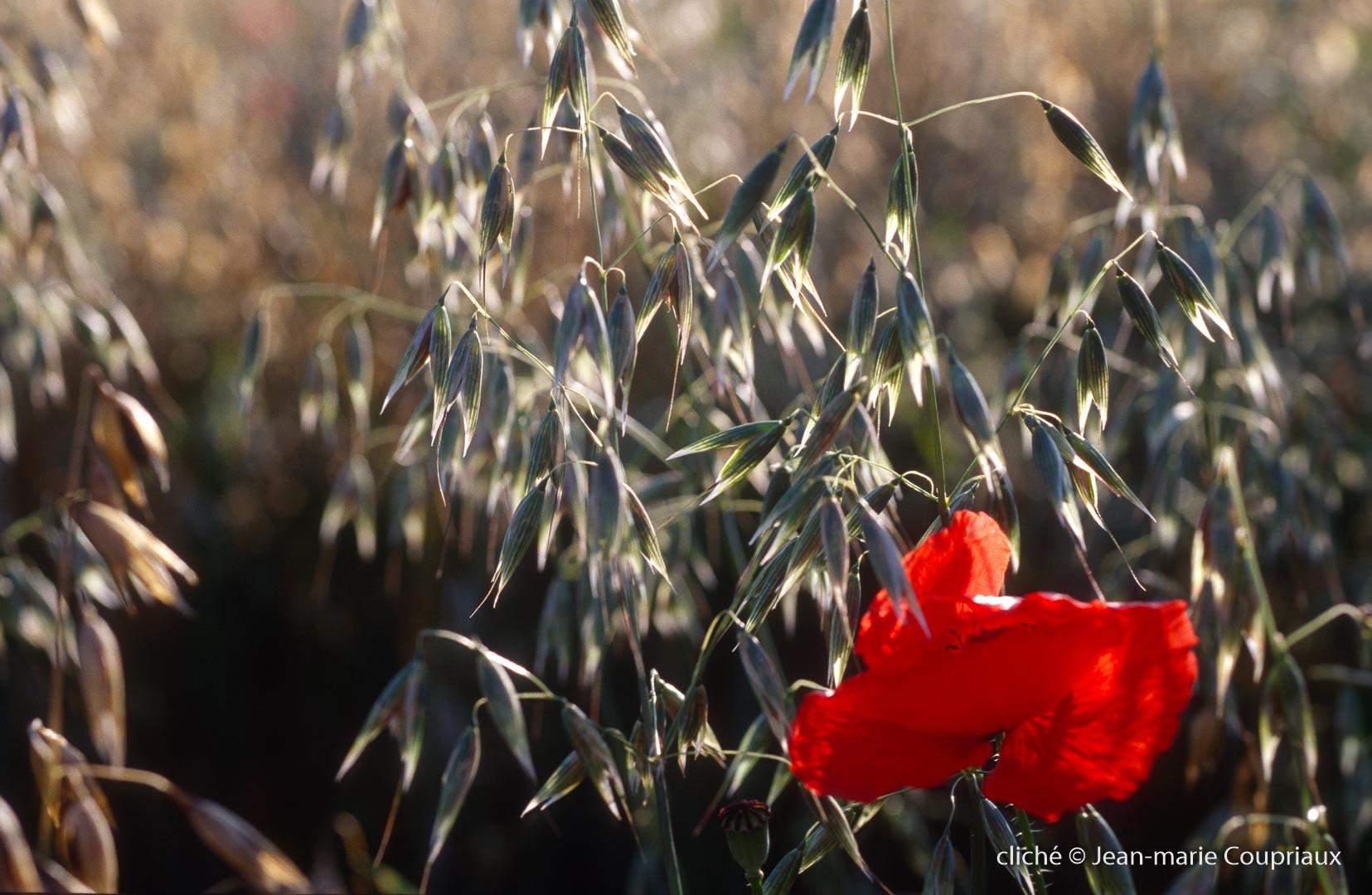 Fleurs__coquelicots-74