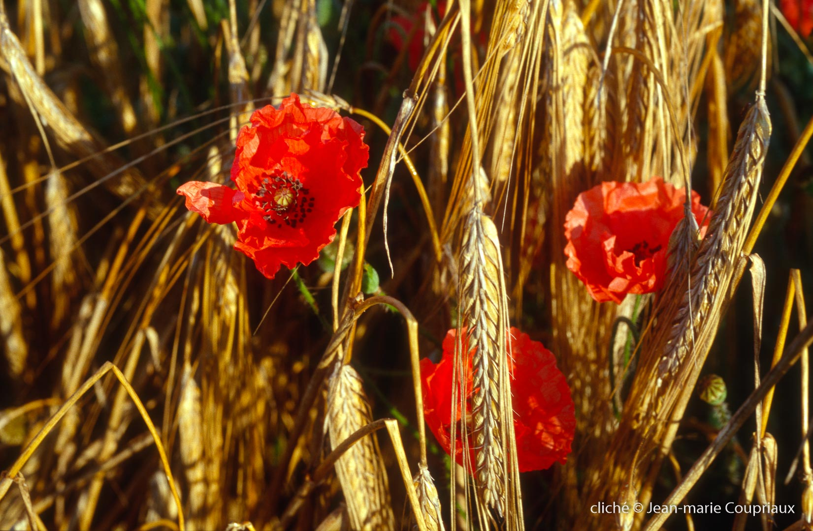 Fleurs__coquelicots-76.jpg