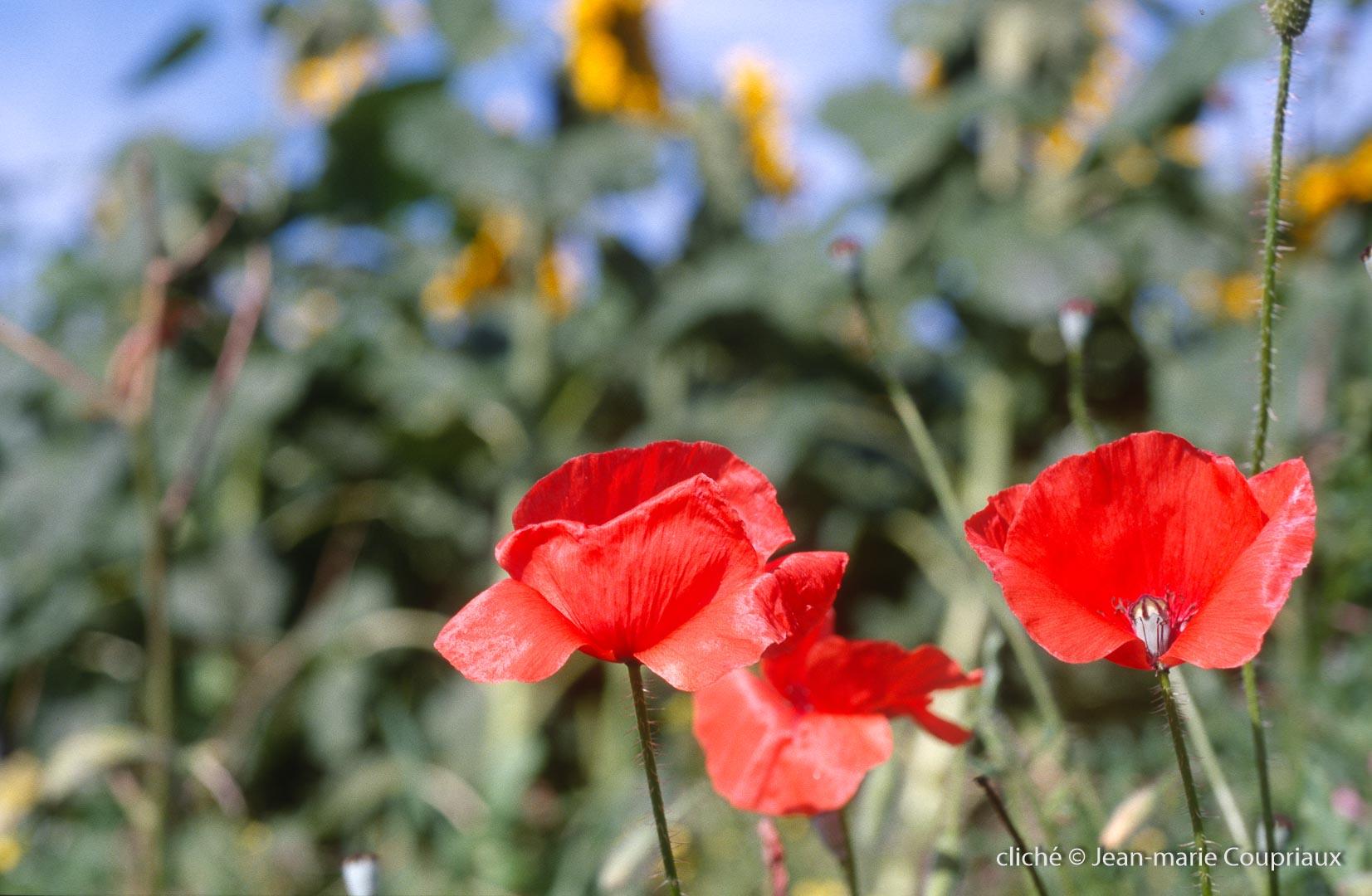Fleurs__coquelicots-81