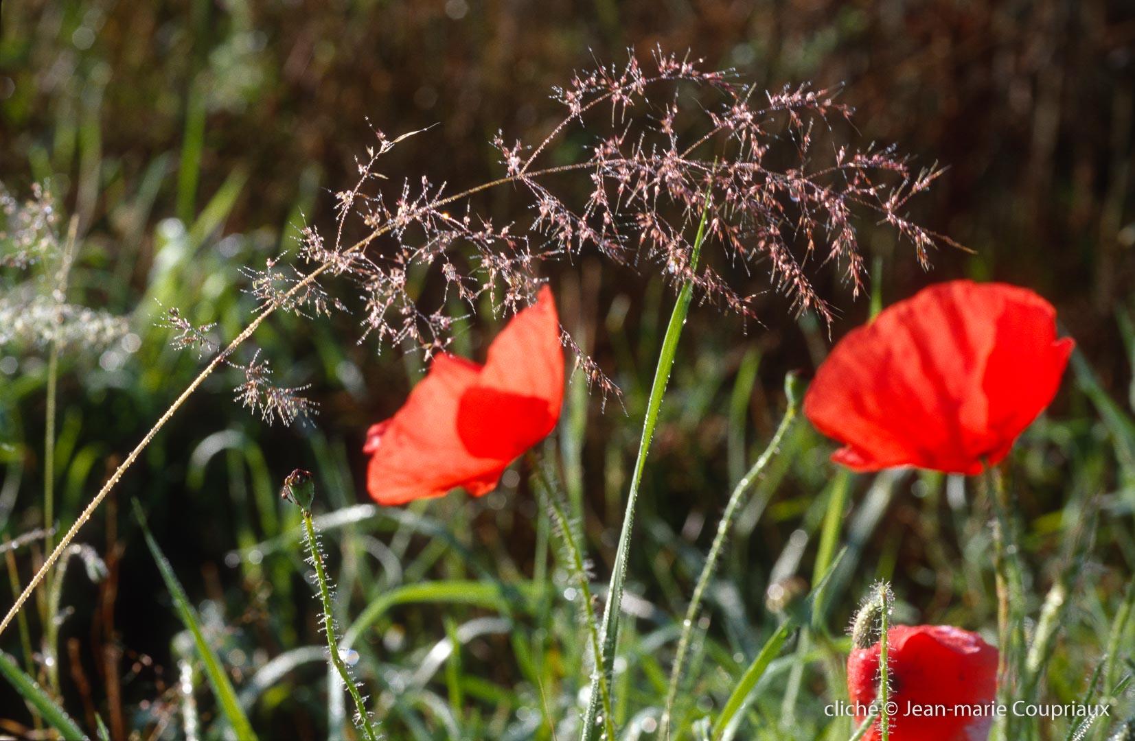 Fleurs__coquelicots-82