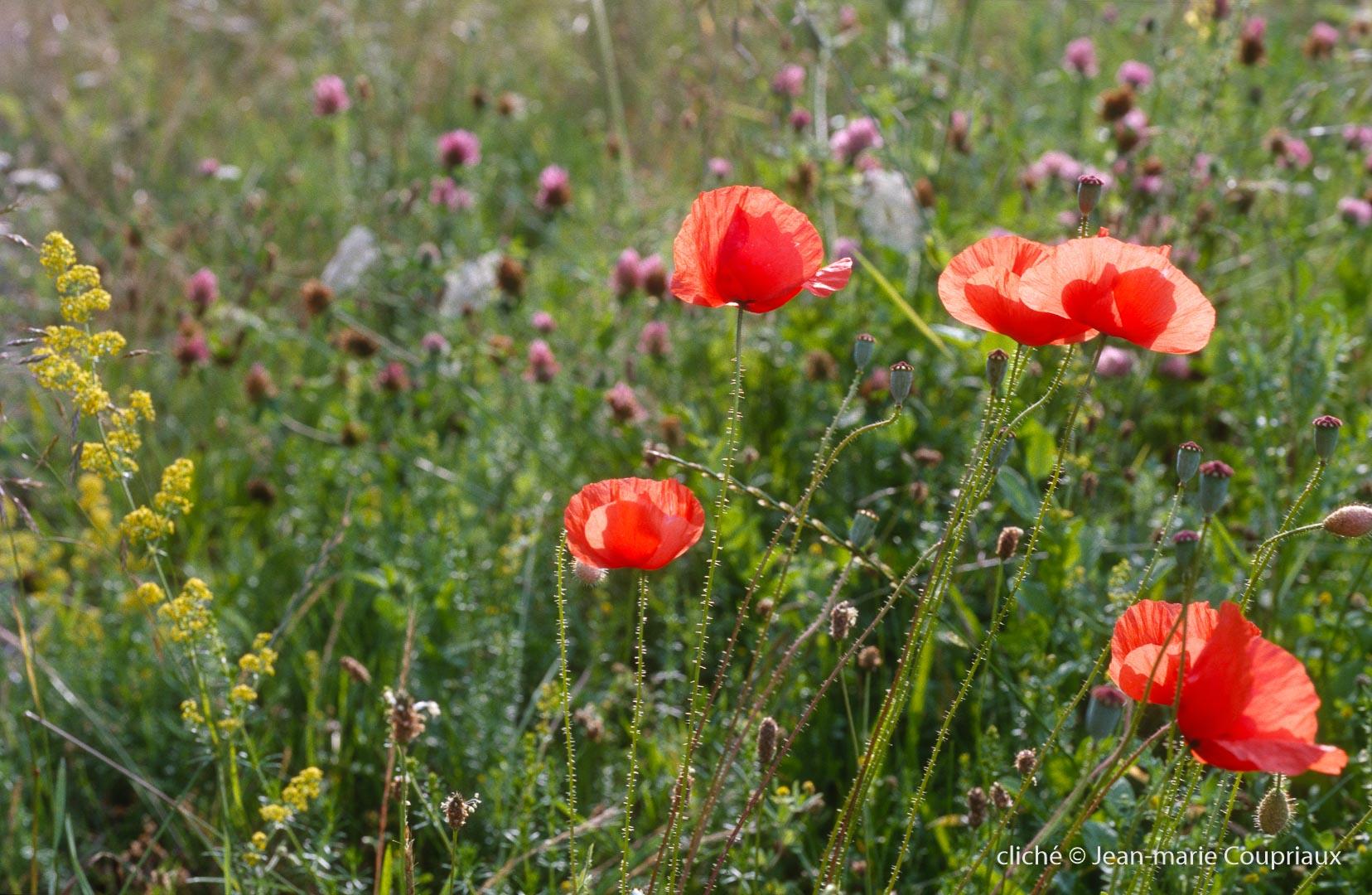 Fleurs__coquelicots-83