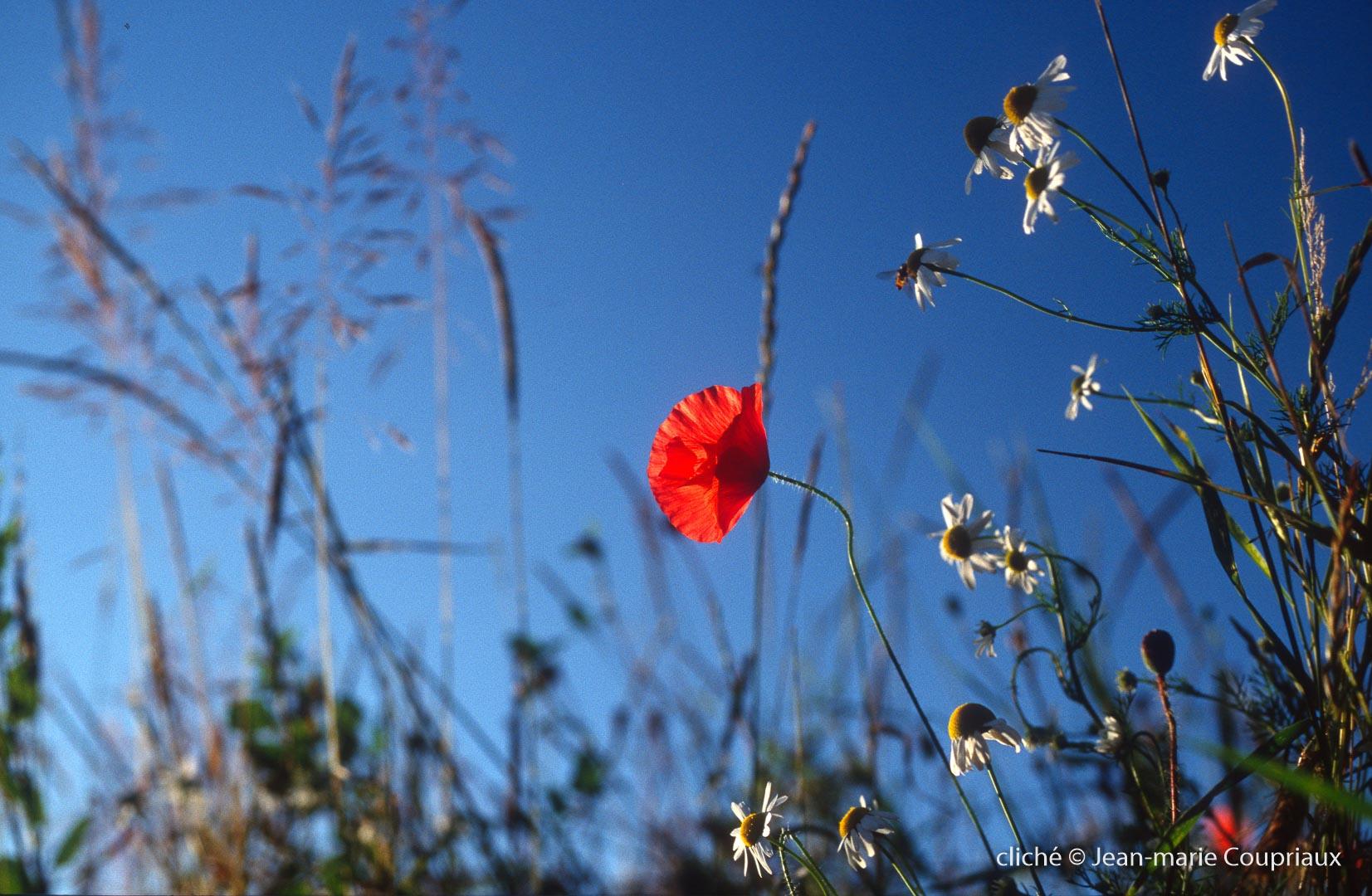 Fleurs__coquelicots-85.jpg