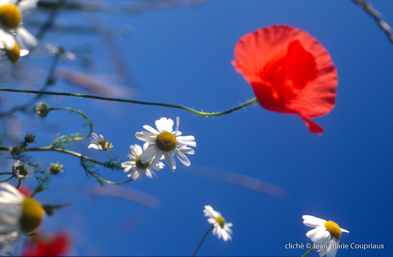 Fleurs__coquelicots-86.jpg