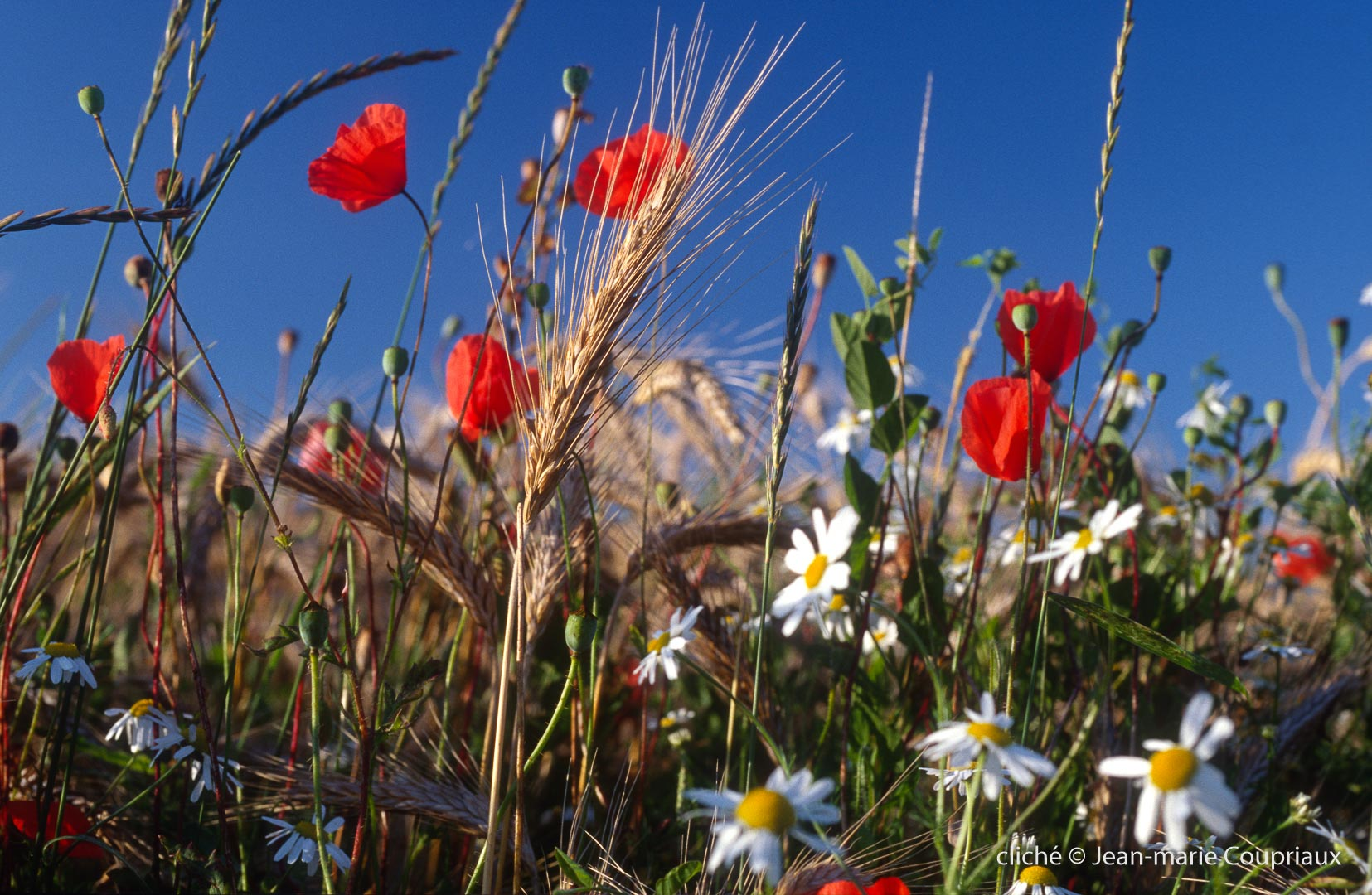 Fleurs__coquelicots-88.jpg