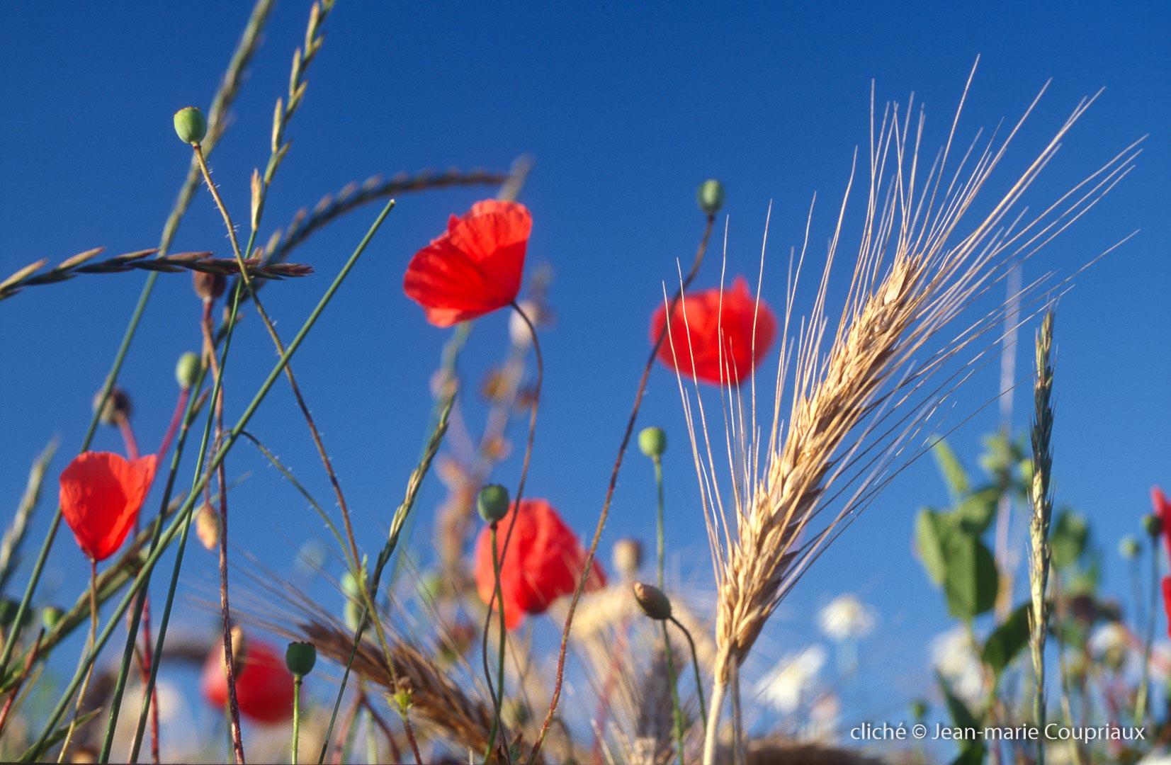 Fleurs__coquelicots-90.jpg