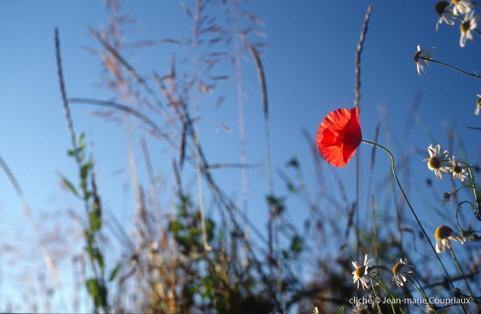 Fleurs__coquelicots-93.jpg