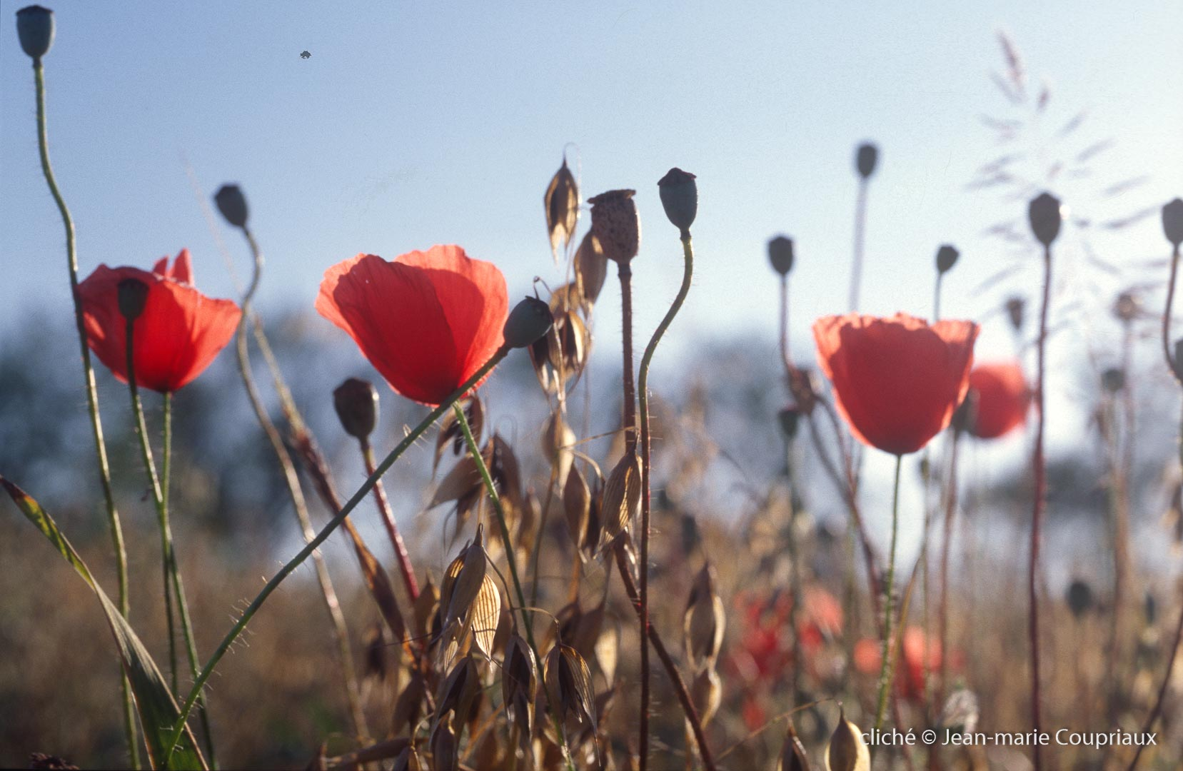 Fleurs__coquelicots-98