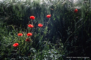 Fleurs__coquelicots-100