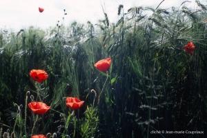 Fleurs__coquelicots-102