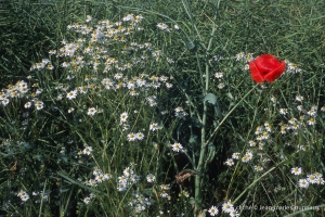 Fleurs__coquelicots-103