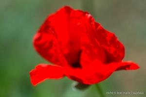 Fleurs__coquelicots-107
